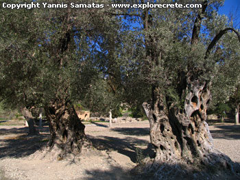 Gortys, the old olive trees