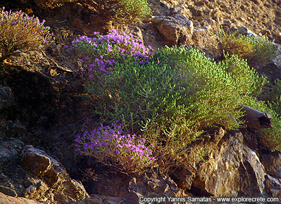 Blooming thyme on the mountains of Crete