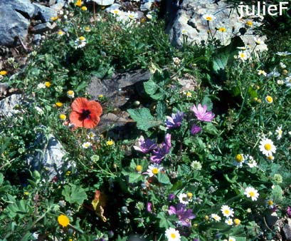 Loutro in Kreta, Wildblumen