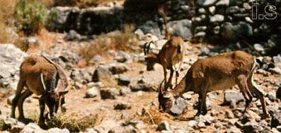kri-kri, the wildgoats of Crete
