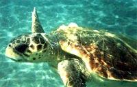θαλλάσια χελώνα
