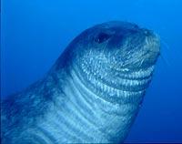 θαλάσσια φώκια
