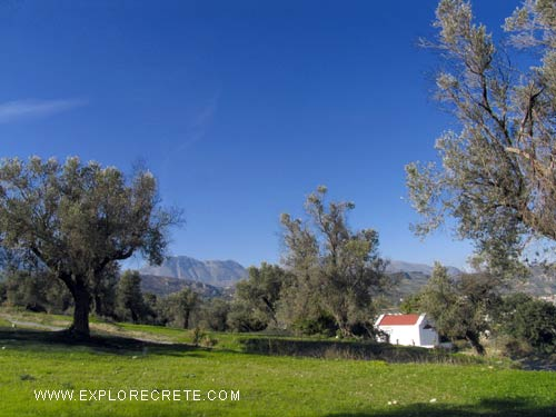 olive grove with small church in Crete