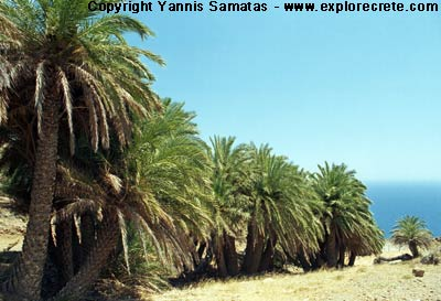 palm trees crete forest